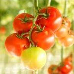 【トマト栽培】 害虫駆除や予防の仕方について