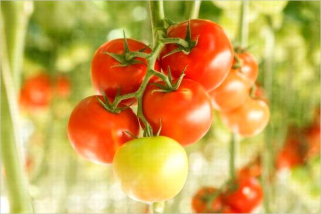 トマト栽培 病気
