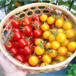 ミニトマトの育て方は「わき芽かき」が重要!やり方はこちら