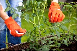 ミニトマトの育て方