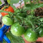 ミニトマトの育て方は?水やりの頻度や量はどれくらいが良いの?