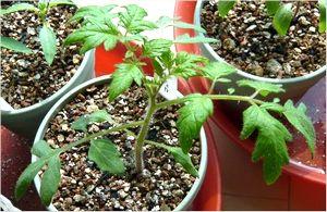 トマトの肥料