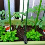 トマト栽培はバジルと一緒にするのがオススメ?その理由や植え方とは