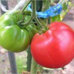 トマトは腐るの!? 完熟との見分け方や新鮮なトマトの選び方はココ!