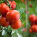 トマト栽培に雨よけは必須!!その理由とやり方について