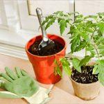 【トマトの育て方】プランター栽培での土の選び方や植え方は?