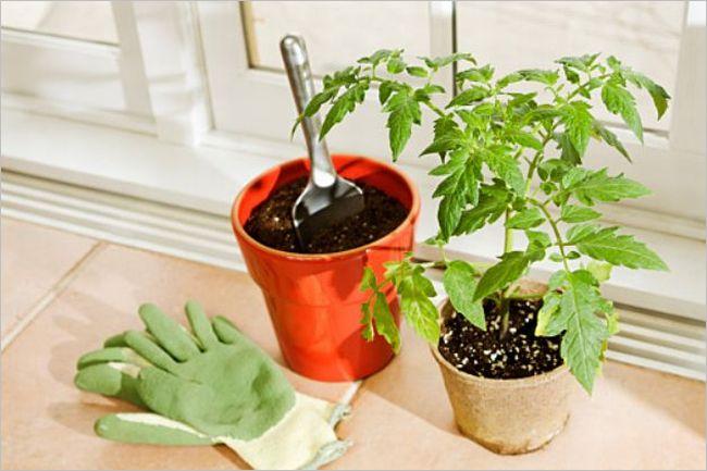 プランター栽培 トマト