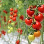 【トマトの育て方】プランター栽培での植え付け時期や支柱の立て方
