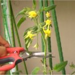 プランターでのミニトマトの育て方!摘芯のやり方を紹介