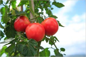 トマトの栄養