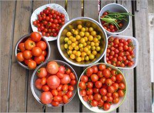 プチトマトの栽培方法