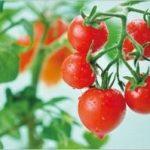 プチトマト栽培はキットが簡単!値段や評判・口コミはこちら
