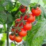 プチトマト栽培の「わき芽取り」って何?正しいやり方はココ