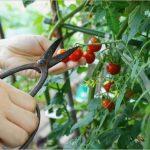 栽培中のプチトマトが病気に!原因や対処法について