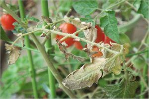 トマト 葉が枯れる