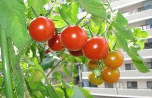 トマト ベランダ栽培